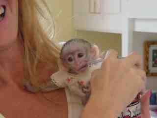 Cutest Capuchin monkeys to all pets lovers  Animals