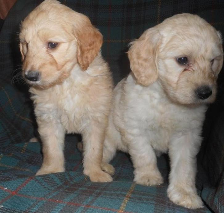 F1 Goldendoodle Puppies  Animals