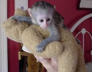 FAMILY RAISED HOME TRAINED BABY CAPUCHIN MONKEYS Animals