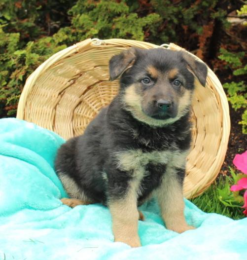 Family raised and well socialized German Shepherd pups Animals