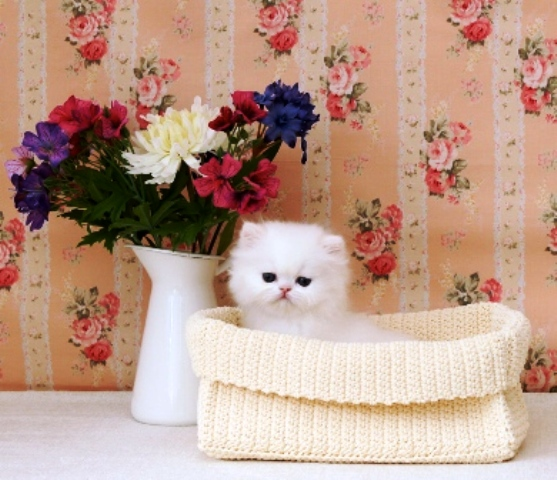 Female and Male Persian kittens For sale Animals
