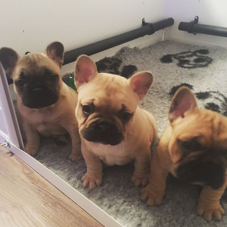 French Bull Dog Animals