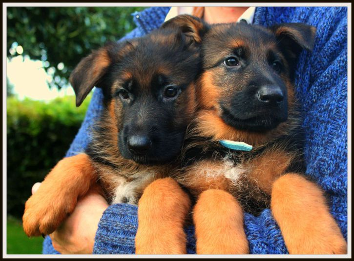 German Shepherd Puppies Animals