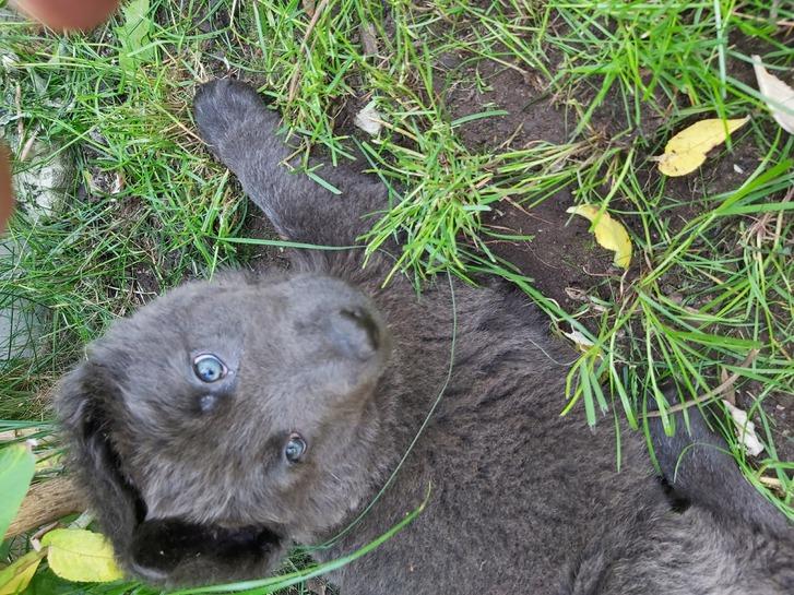 German Shepherd Rare Blue Puppies  Animals