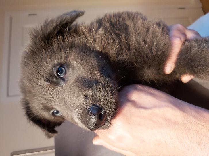 German Shepherd Rare Blue Puppies  Animals 4