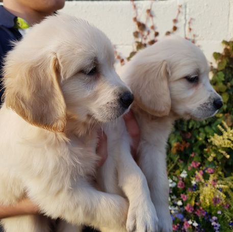 Golden Retriever Puppy available now for adoption Animals