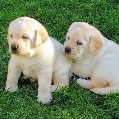Golden Retriever puppies  Animals