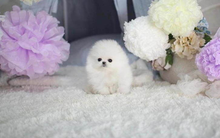 Gorgeous pomeranian puppies,Purebred and Registered Animals