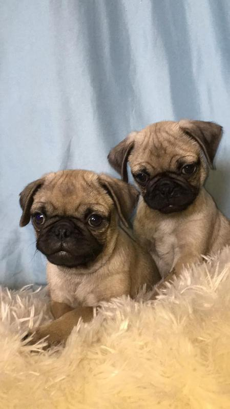 Gorgeous pug puppies,Purebred and Registered Animals