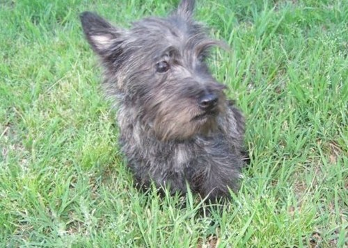 Gorgweous Cairn Terrier puppies for homing Animals