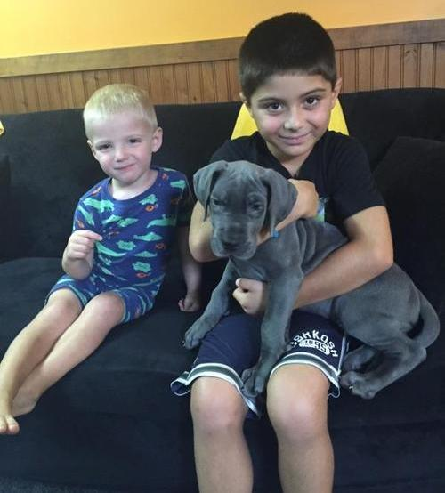 Great Dane Puppies For Sale Animals