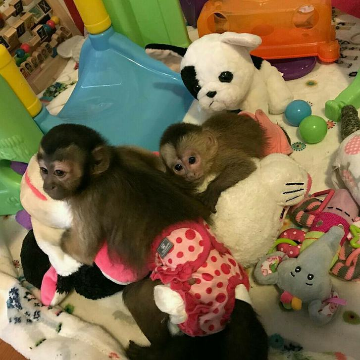 HOME TRAINED BABY CAPUCHIN MONKEYS FOR SALE