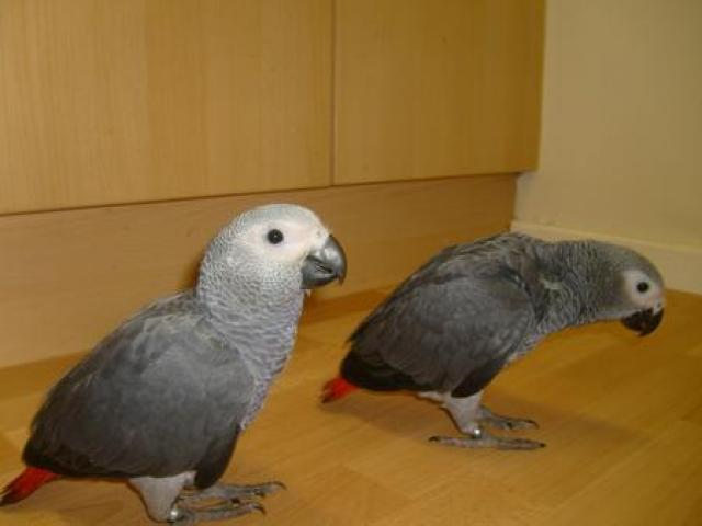 Hand-reared African Grey Baby Parrots ready now Animals