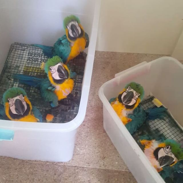 Hand reared Macaw parrots available with DNA Certificate Animals