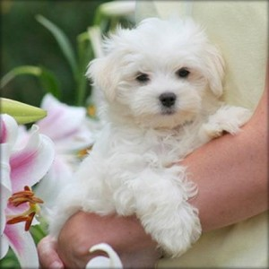 Healthy Teacup Maltese Puppies for Sale Animals