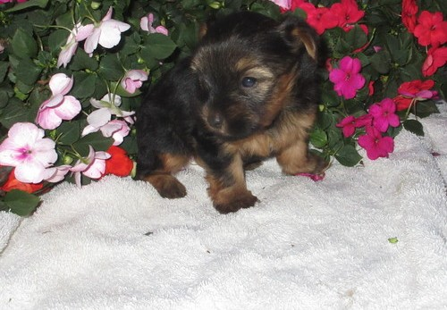 Healthy Yorkshire Terrier pups  Animals 3