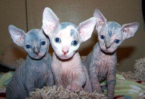 Healthy male and female Sphynx kittens Seeking new homes Animals 4