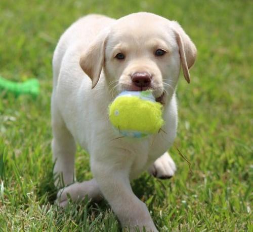 Heathy Labrador retriever puppy  Animals