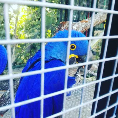 Hyacinth Macaw For Adoption Animals