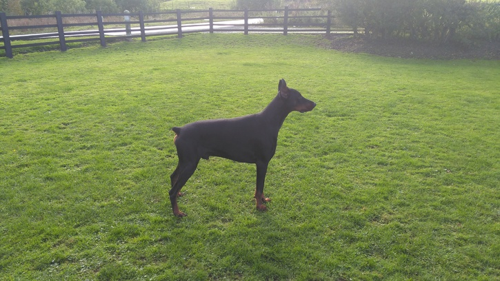 Import Dobermann for sale Animals
