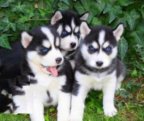 Inquisitive characters Siberian Huskies Puppies Animals