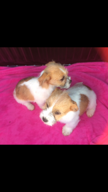 Jack russell x Shih tzu puppies  Animals 2