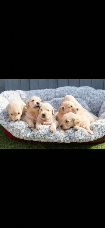 Kc Fully Health Tested Golden Retrievers Animals 2