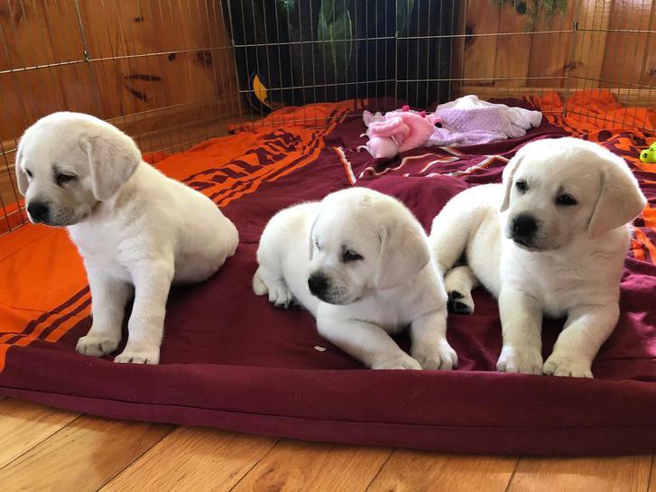 Kc Reg Labrador Retriever Pups For Sale. Animals 2