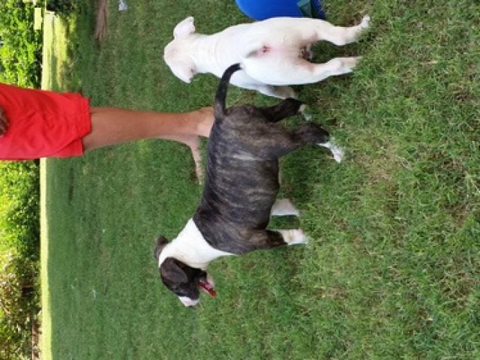 Kc Reg Pedigree English Bull Terrier Pups Ready Animals