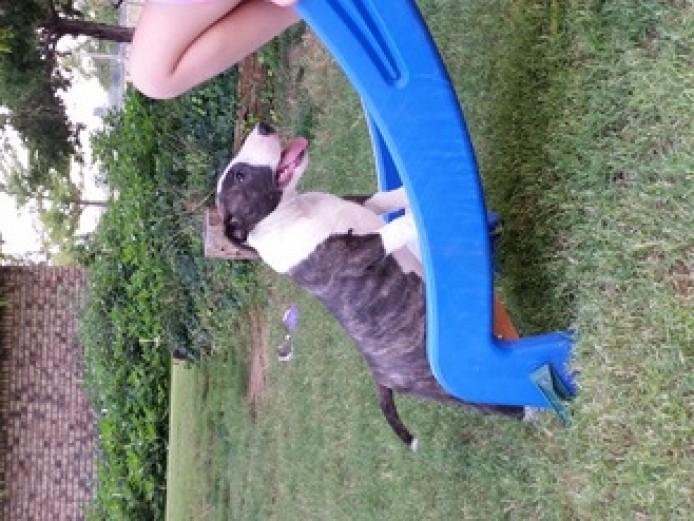 Kc Reg Pedigree English Bull Terrier Pups Ready Animals 2