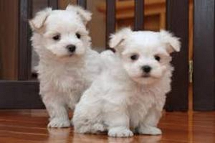 Kc Registered Maltese Puppies Animals