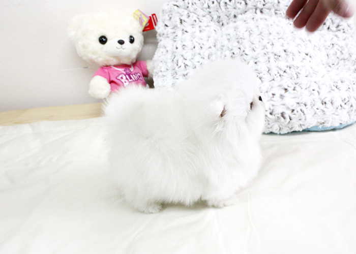 Kc Registered Pomeranian Puppies For Sale Animals 2