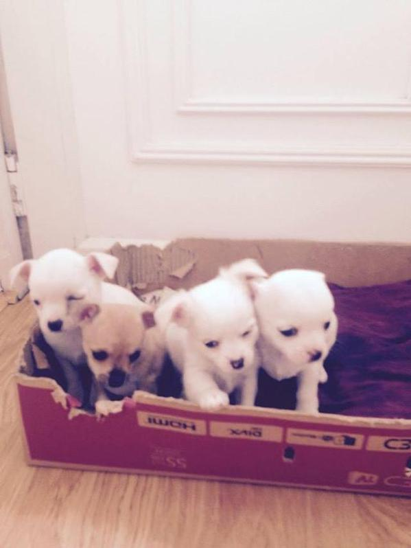 Longhaired Chihuahua Pups for Sale Animals 2