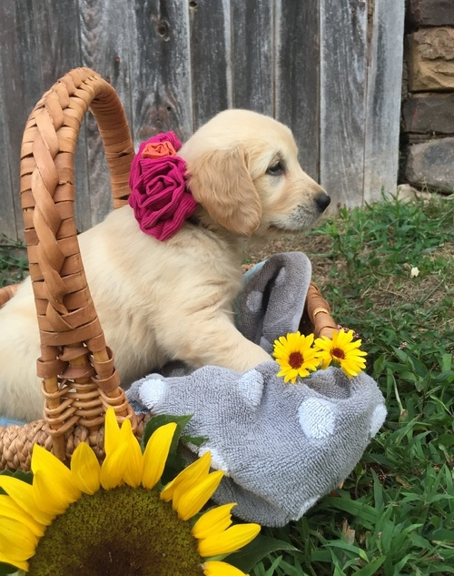 Lovable, loyal,and friendly,Golden Retriever pups Animals