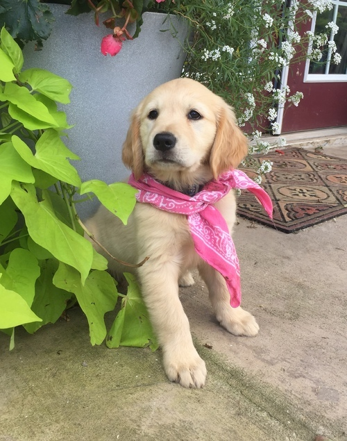 Lovable, loyal,and friendly,Golden Retriever pups Animals 2