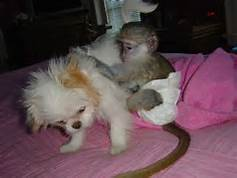Lovely  Male and Female Capuchin and finger Baby Monkeys for free(430) 808-2841 Animals 2