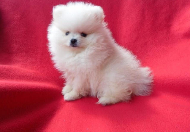 Lovely Pomeranian Puppies for Sale Animals