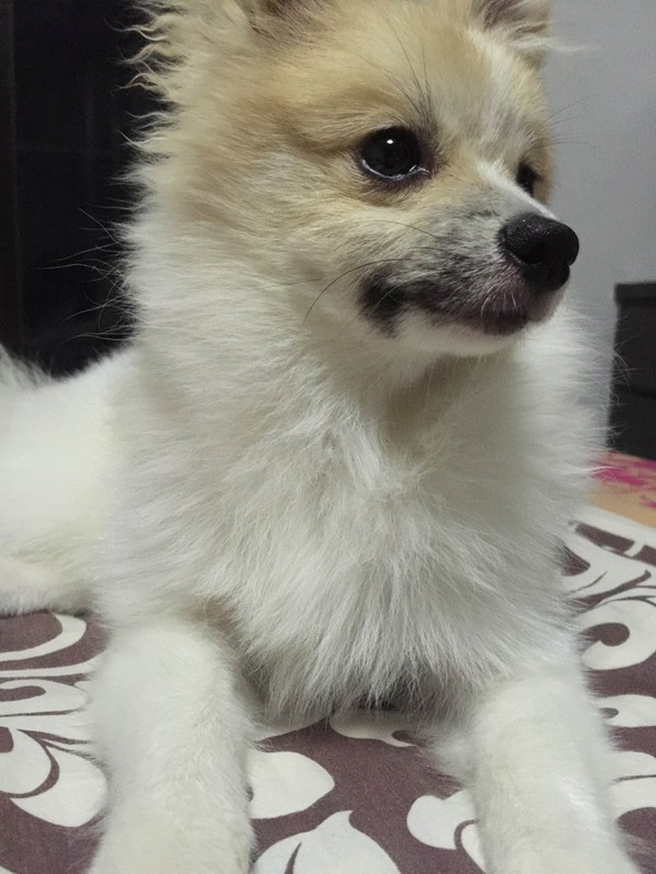 Lovely  Yorkshire and Pomeranian puppies for adoption. Animals 3