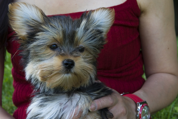 Lovely  Yorkshire and Pomeranian puppies for adoption. Animals 4