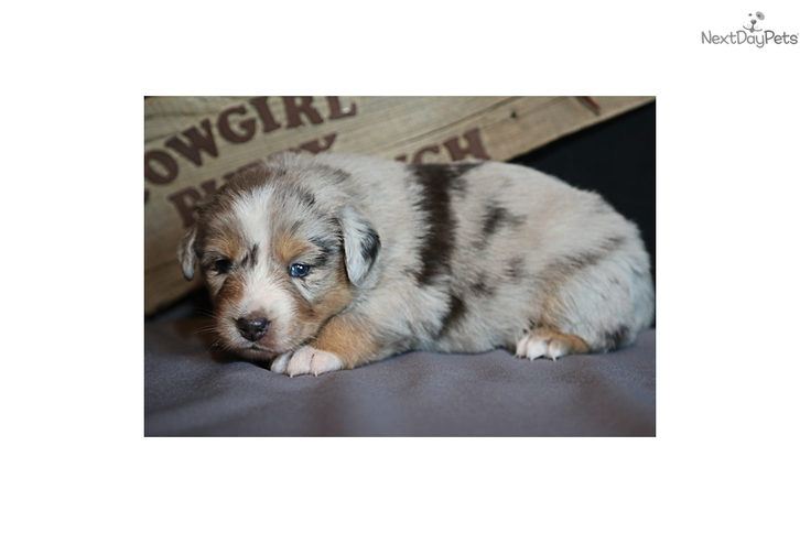 Male Australian Shepherd Animals 4