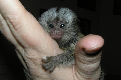 Male and female Marmoset monkeys Animals