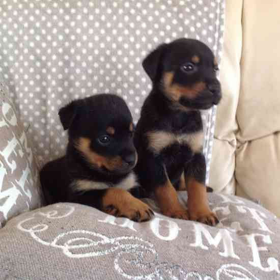 Male and female Rottweiler puppies for pet lovers. Animals
