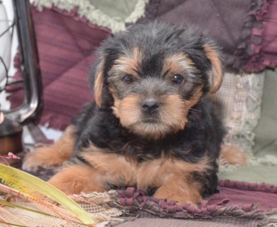Male and female Yorkie Puppies Animals
