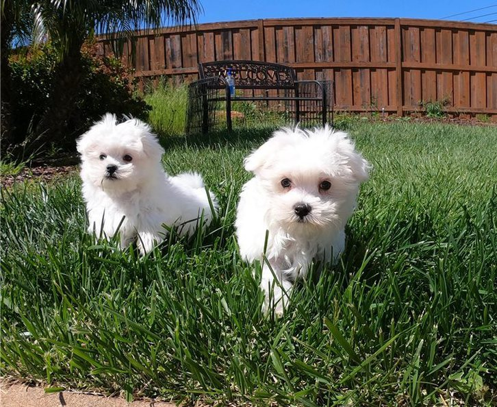 Maltese puppies for sale Animals