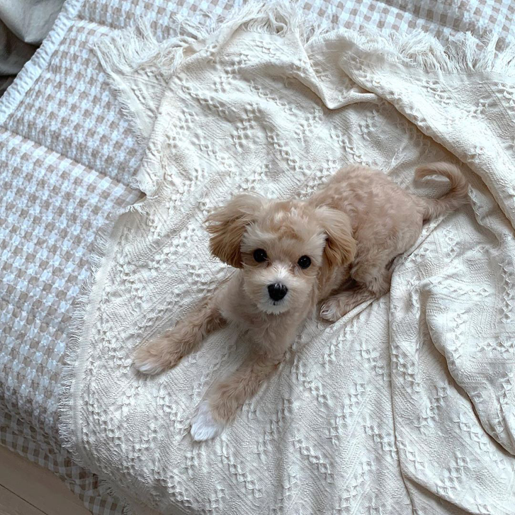 Maltipoo Puppies for sale Animals