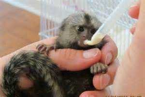 Marmoset Monkeys Animals 2