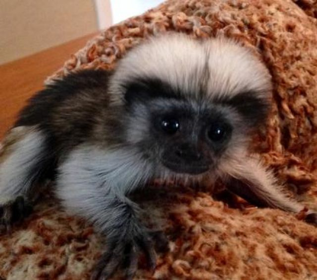 Marmoset monkey for sale Animals