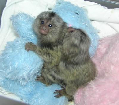 Marmoset monkey for sale Animals