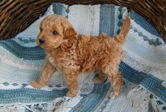 Mini Goldendoodle Puppy for Sale Animals 2