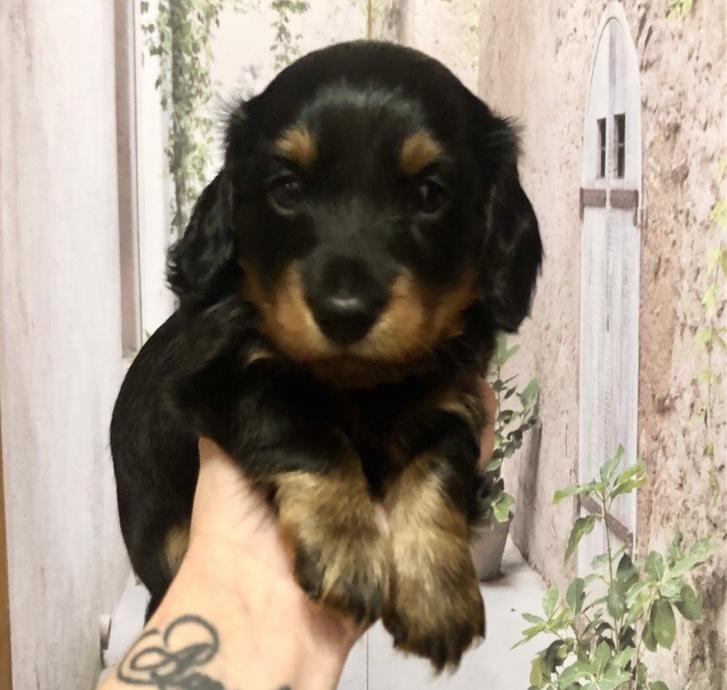 Miniature Dachshund Pup KC Registered  Animals